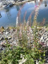 Gorgeous flowers by the river, Ucelet, BC, Canada