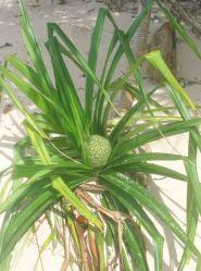 the elusive padam tree or an